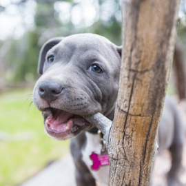 Natures Chew Toy by Preston Trauscht - Animals - Dogs Puppies ( playing, natural light, nature, blue, pitbull, blue eyes, puppy, beauty, chewing )