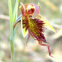 Red Beard Orchid