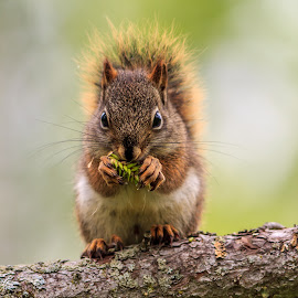 Red Squirrel  by Jeffrey Loos - Animals Other Mammals ( animals, life, plants, eating, wildlife, squirrel )