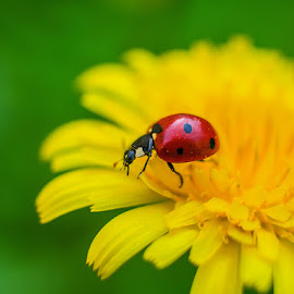 Coccinellidae by David Solodar - Animals Insects & Spiders ( coccinellidae )