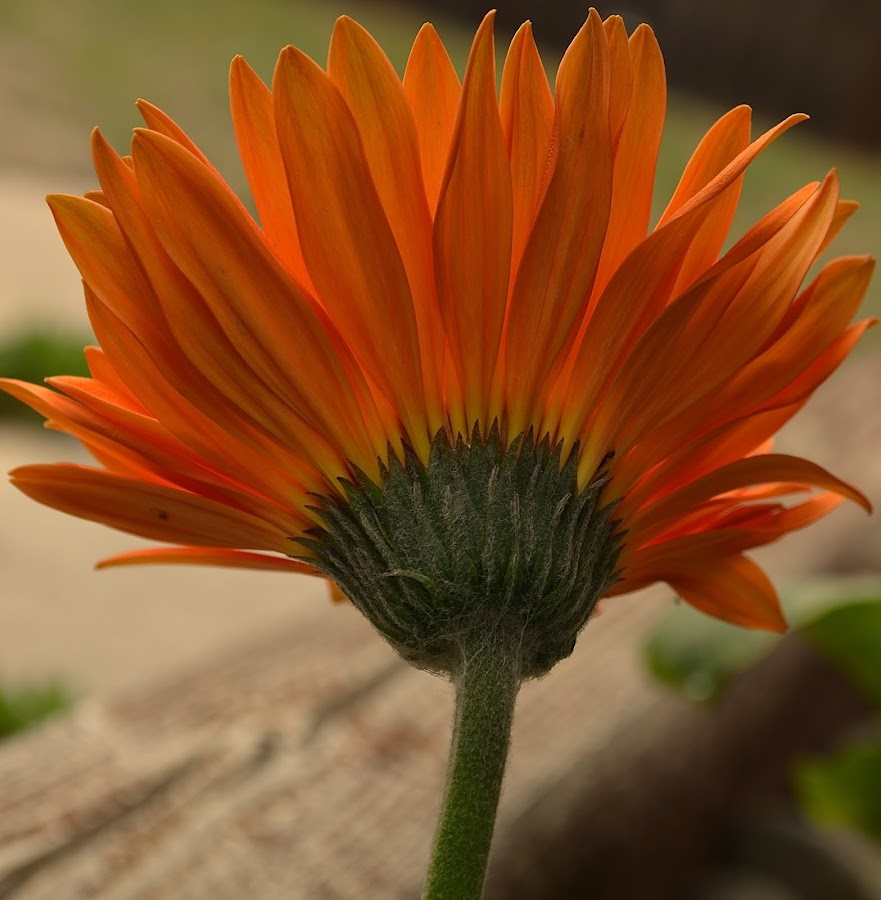A View From Behind by Ed Hanson - Flowers Single Flower ( orange, nature, daisy, flower, close-up )