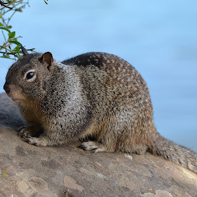 My Favorite Spot by Ed Hanson - Animals Other Mammals ( water, rock, gray, close-up, squirrel )