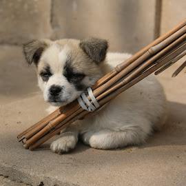 Sleepyhead.  by Akhila Rangana - Animals - Dogs Puppies (  )