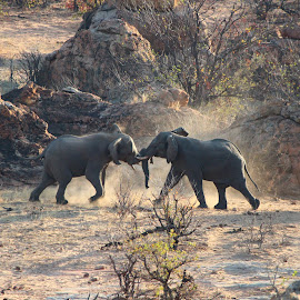 Clash of the giants. by Heather Steyn - Novices Only Wildlife