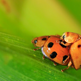 love by Firmansyah Goma - Animals Insects & Spiders ( love, animal,  )