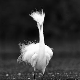 Bad Feather Day by Sandrine Biziaux - Animals Birds ( water, bird, nature, white, wildlife, feather, snowy egret, black, egret, river,  )