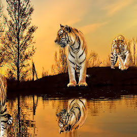 Tiger Safari by Sandra Hilton Wagner - Animals Lions, Tigers & Big Cats ( wild, tigers, dusk, oasis, reflaction, animal )
