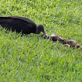 Black Vulture Feeding on Carrion by Jill Nightingale - Novices Only Wildlife ( vulture, avian, feeding, raccoon, bird, coragyps atratus, roadkill, food, carrion, endangered, eating, dead, decaying, large, black, food chain, decay, meal, wrinkled,  )