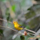 Reinita cabecidorada --Prothonotary warbler