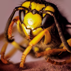 hornet by Zion 1000bc - Novices Only Macro