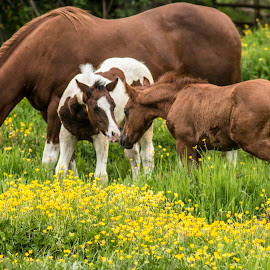 Buddies by James  Adkins - Animals Horses ( colts, baby horses, paint horse, horses, 2 colts )