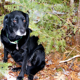 Long woods walk by Sandy Davis DePina - Animals - Dogs Running ( labrador retriever, snow, forest, black lab, dog, woods )
