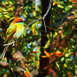 bee eater by Darshit Mesariya - Novices Only Wildlife ( bird, national park, nature )