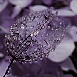 Magic Amethyst by Marija Jilek - Nature Up Close Natural Waterdrops ( water, nature, seed, drops, plants, natural waterdrops, (magic) amethyst )