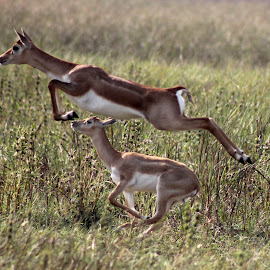 High Jump by Ajay Solanki - Animals Other Mammals ( animals, wildlife, travel, place )