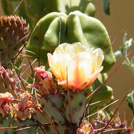 What long thorns you have! Better to protect my flower. by Donna Probasco - Novices Only Flowers & Plants (  )