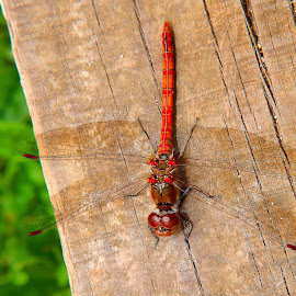 Red dragonfly by Anthony Doyle - Animals Insects & Spiders (  )