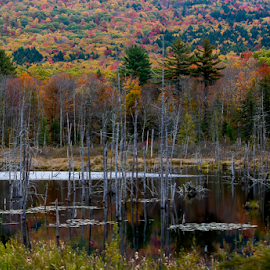 Autumn in the Swamp by Nancy Merolle - Landscapes Forests ( water, hills, mountains, autumn, trees, forest, vermont, landscape, leaves, woods, usa, swamp )