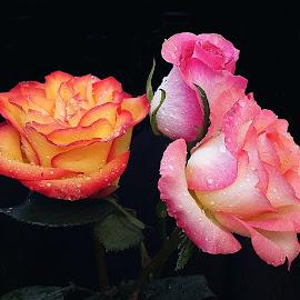 Three beautiful roses by Biljana Nikolic - Flowers Flower Arangements