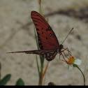 Gulf Fritillary, Passion Butterfly