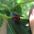 V-marked Lady Beetle