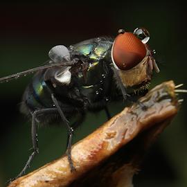 lalat setelah hujan by Aris Kh Kh - Animals Insects & Spiders ( lalat, after rain, lalat water drop, lalat ijo )