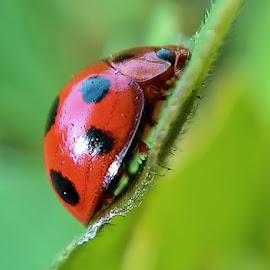 LADY BUG by Arief Azharie - Animals Insects & Spiders ( macro, bug, insect )