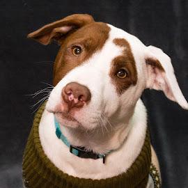 American Bull Dog by Jennifer McWhirt - Animals - Dogs Portraits ( animals, dogs, american bull dog, photographybyjenmcwhirt.com, portraits,  )