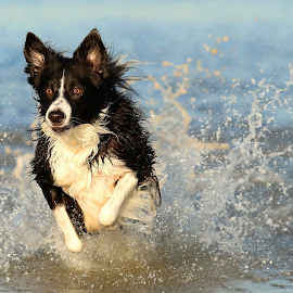 Water Baby! by Gareth Evans - Animals - Dogs Running ( water, collie, border collie, splash, sea,  )