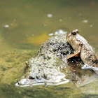 New Guinea mudskipper (廣東彈塗魚)