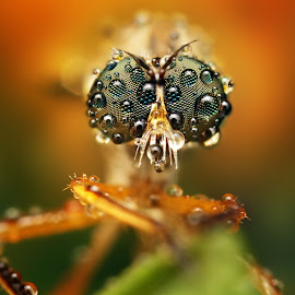 Reproductors by Ondrej Pakan - Animals Insects & Spiders ( macro, dew, dew drops, insect, robberfly )