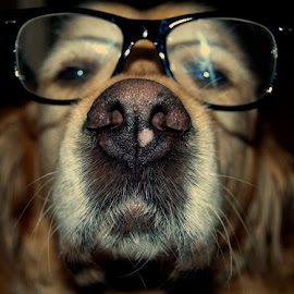 Everything I love by Cristina Sasebes - Animals - Dogs Portraits ( glasses golden dog cute lovely )