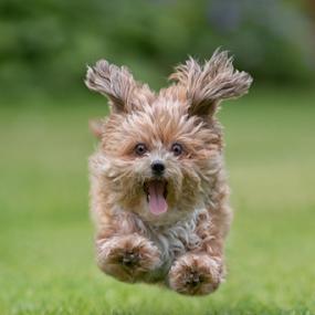 by Michael Milfeit - Animals - Dogs Running ( flying, bolonka )