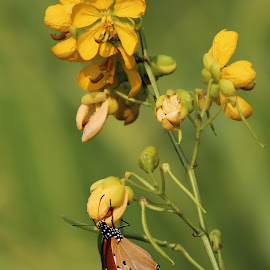 butterfly by Sanchita Nag - Nature Up Close Gardens & Produce ( butterfly, nature, green, flower, honey )