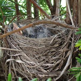 Baby birds nest by Jodi Mara - Nature Up Close Hives & Nests