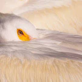 Just One Look by Michael Pachis - Animals Birds ( american white pelican, breeding, memphis zoo, pelican, water bird,  )