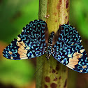 Cracker butterfly