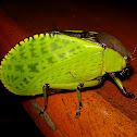 Hard-shelled Katydid