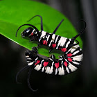 Blue-banded King Crow Caterpillar