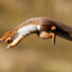 Leaping Red Squirrel by Claire Wright - Animals Other Mammals ( nature, yorkshire, leap, photography, squirrel,  )