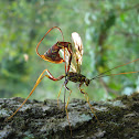 Long-tailed Giant Ichneumon Wasp