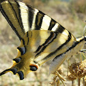 mariposa chupa leche
