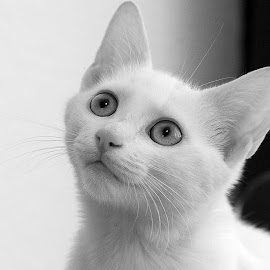 Sisi by Dan Dumitrescu - Animals - Cats Portraits ( cat, animals, black and white, portrait, eyes )