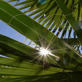 Sunshine creeping through by Dee Schindler VanBilliard - Nature Up Close Trees & Bushes ( palm tree, sky, light, sun )
