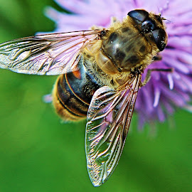 Flower Fly by Walter Clark - Animals Insects & Spiders ( fly flower bee wings purple violet thistle )