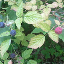 Native Edible and Medicinal Plants of the Pacific Northwest
