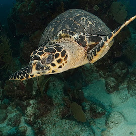 Turtle by David Gilchrist - Animals Sea Creatures ( roatan marine park, sea creature, sea turtle, underwater,  )