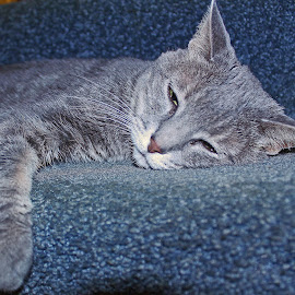 Tuckered Out by Sheila Holdren - Animals - Cats Kittens ( love, dutchess, cat, tired, beauty, devoted,  )