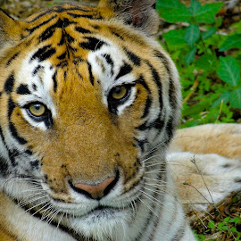 wild cat by Roopa Buggana - Animals Lions, Tigers & Big Cats ( big cat, wild, tiger, jungle, stripes,  )
