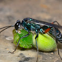 Blue Spider wasp